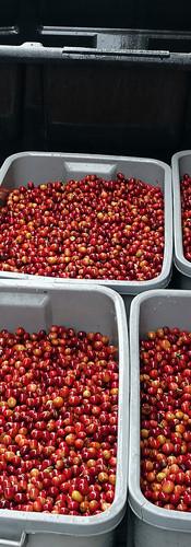 coffee-cherries-before-pulping.jpg