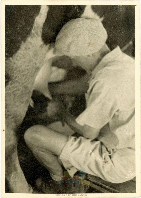 שלמה סוכובולסקי חולב פרה ברפת שלו, מושב עין ורד, שנות הארבעים