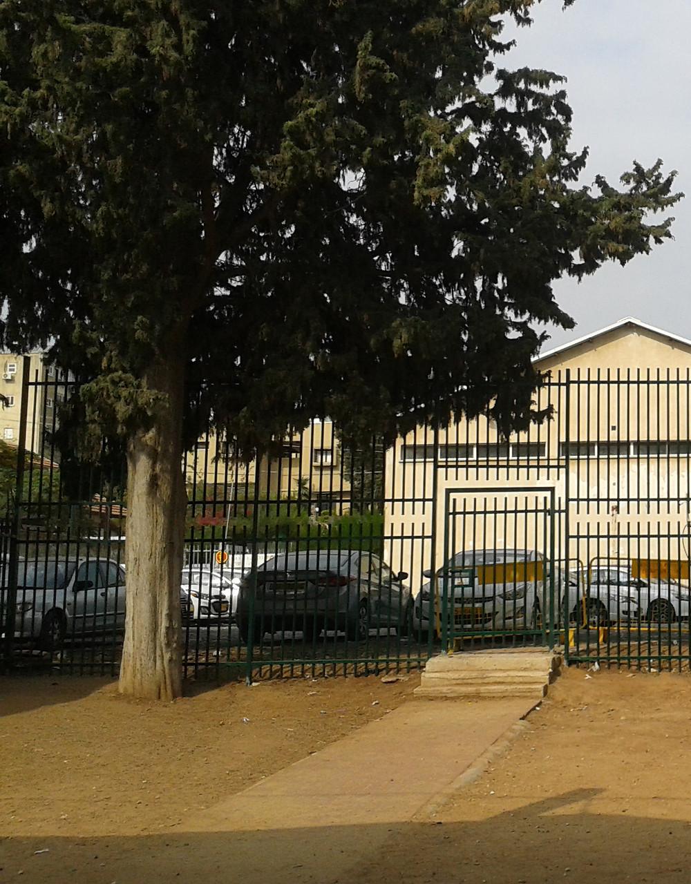 עץ הברוש בצדו המערבי של בית הספר בן-צבי ברחובות, לשעבר 'בית החינוך לילדי עובדים', 2019. צילום: רחלי רוגל