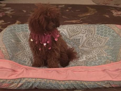 Curly Top Poodles.jpg