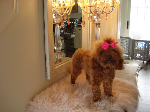 Curly Top Poodles