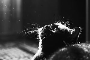 Black kitten. Portrait of cat in backlig