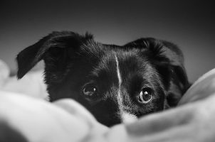 Black and white photo of a dog, Border c