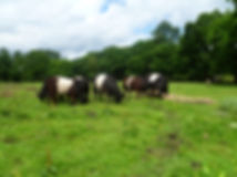Conservation grazing in action! Small herd of cows grazing naturally.