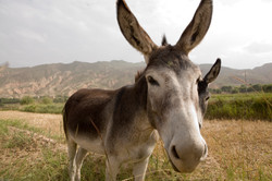 Tibetan Home of Hope Donkeys