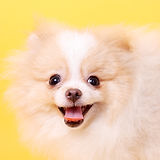 merry cute little spitz puppy.jpg