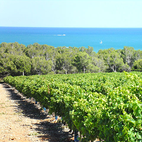 The Mediterranean sea overlooking the vines