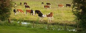 Pic D Cows Grazing .jpg