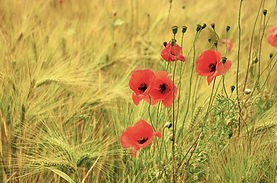 cereals and poppy -1465304_1920.jpg