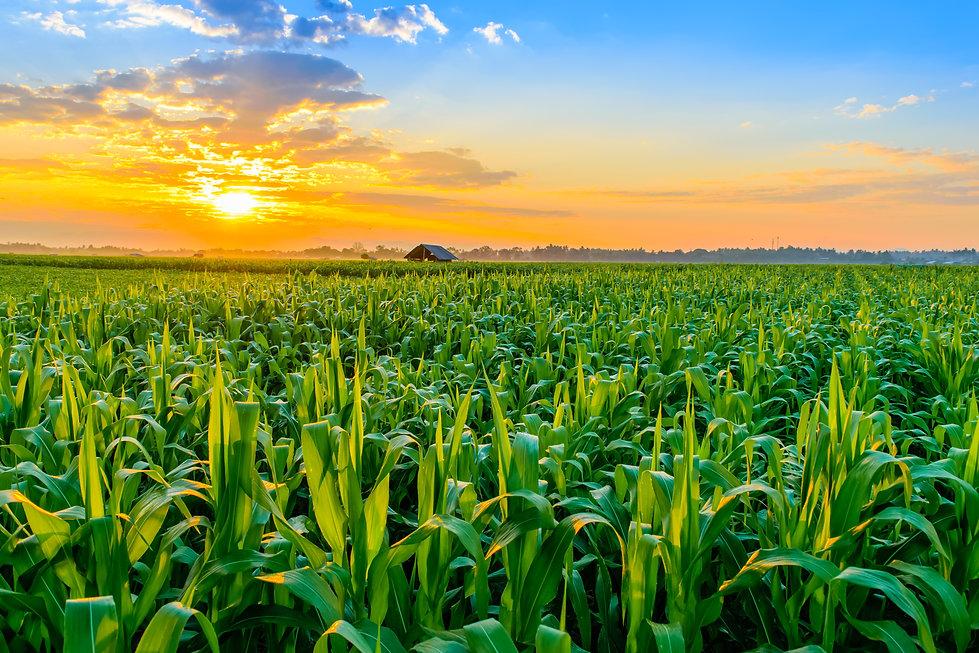 Beautiful morning sunrise over the corn