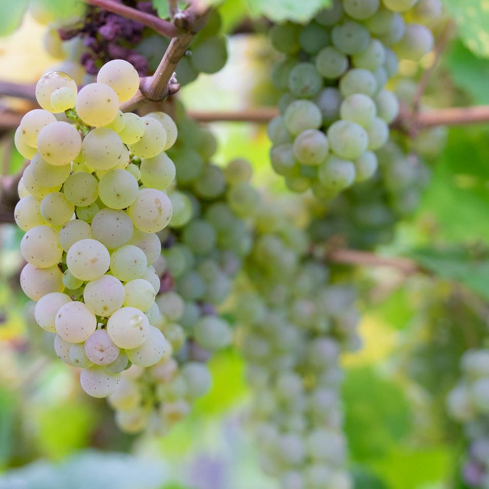 Oh Kabinett 2018' Grapes