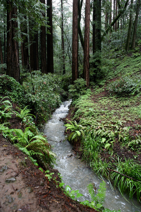 Marin Forest Stream