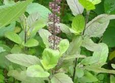 जड़ी-बूटियों के फायदे (Benefits of herbs)