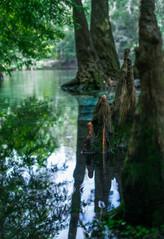 Cypress Knees at Jonathan Spring