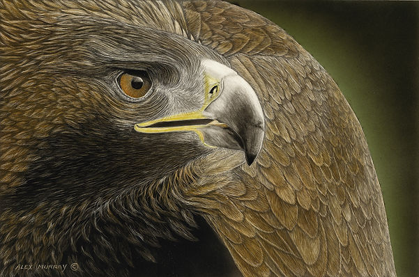 scratcboard, western art, scratchboard art, original art, wildlife art, alex murray, scratchboard artists, clay board, fine art giclee prints, portaits, fine arts, international society of scratchboard artists