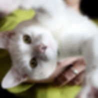 white cat with green eyes reaching out to hug and grab from a woman's arms