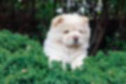 cute fluffy chow chow puppy in green bush watching somthing in distance