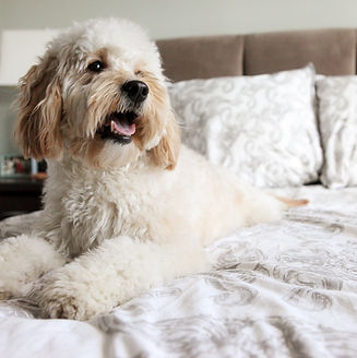 a happy and panting cockapoo dog on a white bed