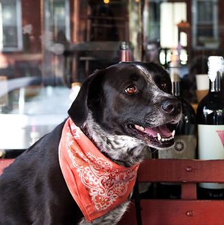 pointer mixed breed dog wearing a red bandana smiling and sitting in a window with wine bottles and reflectons