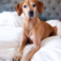 portrait of a senior rhodesian ridgeback laying on a white bed