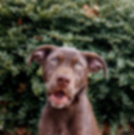 portrait of a puppy chocolate lab in green bush with it's mouth open making a cute, funny face