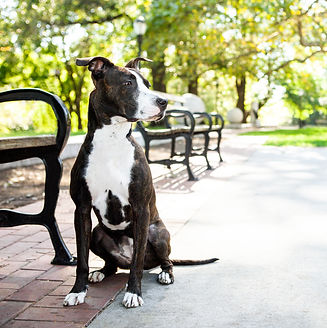mutt mix pit bull dog in park with bench and bright green trees white paws