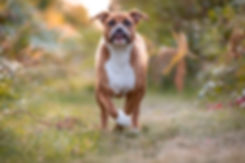 pitbull, dog running outside in fall autumn with bleep tongue out and eye contact