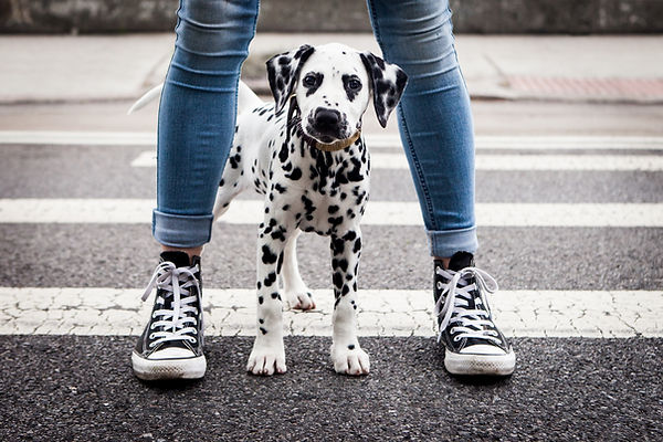 dalmatian puppy standin between legs of girl on crosswalk in ne york with chucks converse shoes and blue jeans in black and white