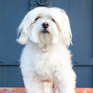 a small white maltese dog on an orange bench in front of a blue wooden door