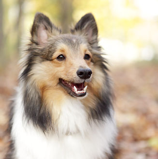a portrait of a happy shetland sheepdog in the woods during fall and autumn