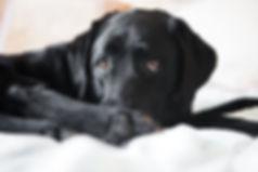 black lab, labrador, retriever, cute, puppy eyes, pet, photography, dog,