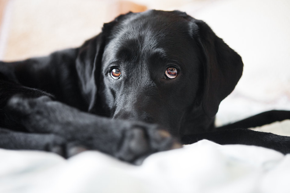 black lab, labrador, retriever, cute, puppy eyes, pet, photography, dog,