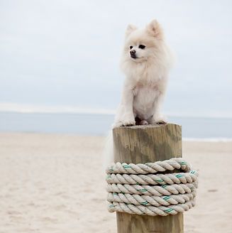 White pomeranian sitting on a wooden post with rope on the sandy beach o a coudy day. Preston Casanova