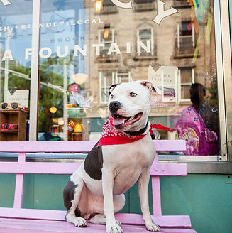 white and grey pitbull with a red bandana sitting on a pink bench in front of a reflective window of an old school farmacy and soda fountain