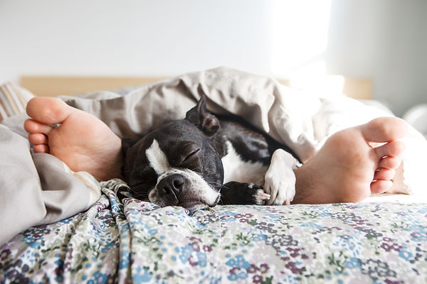cute boston terrier sleeping under the covered between legs with feet and toes and flower sheets cuddling