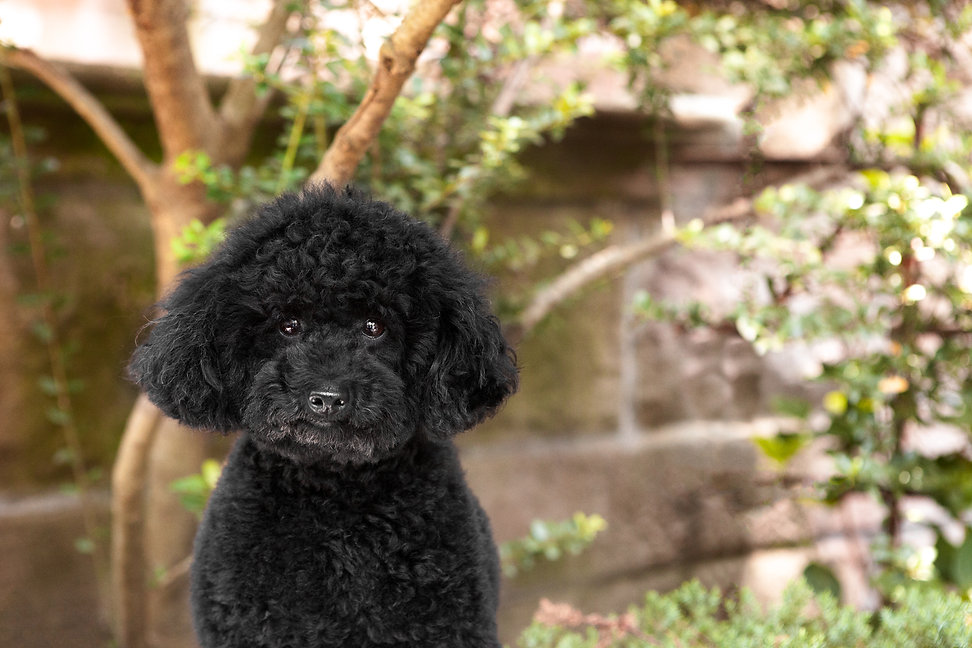 small cute black mini poodle with bright eyes looking into camera