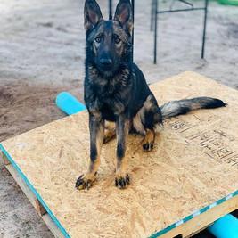 ruach_dog_trainers_zap_test_gsd_sv.jpg