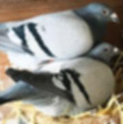 Lovely pair in the stock loft.jpg