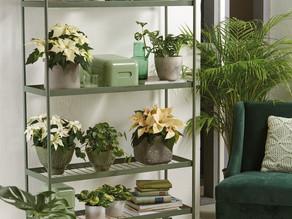 Nicht nur zur Weihnachtszeit: Farbenfrohe Raumdekorationen mit Poinsettien!
