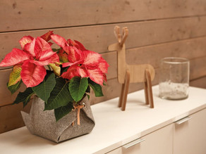 Poinsettias – meet the Mexican marvels set to bring much needed cheer to the UK's homes