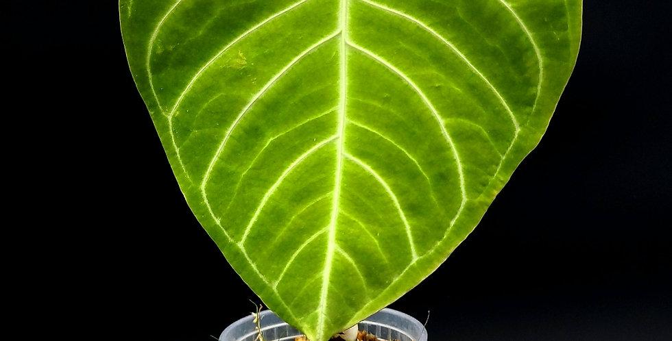 Anthurium Regale