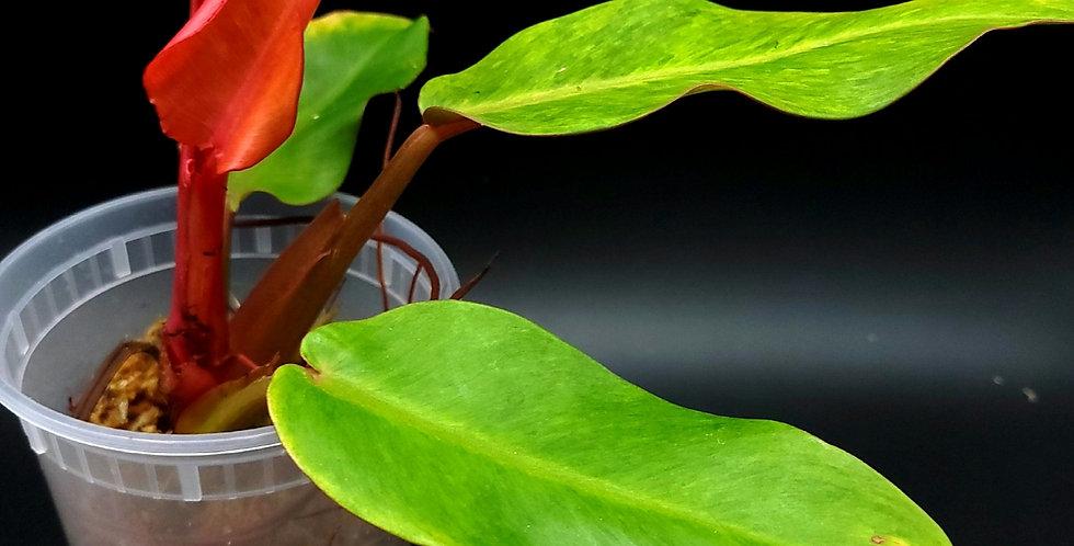 Philodendron Orange Marmalade