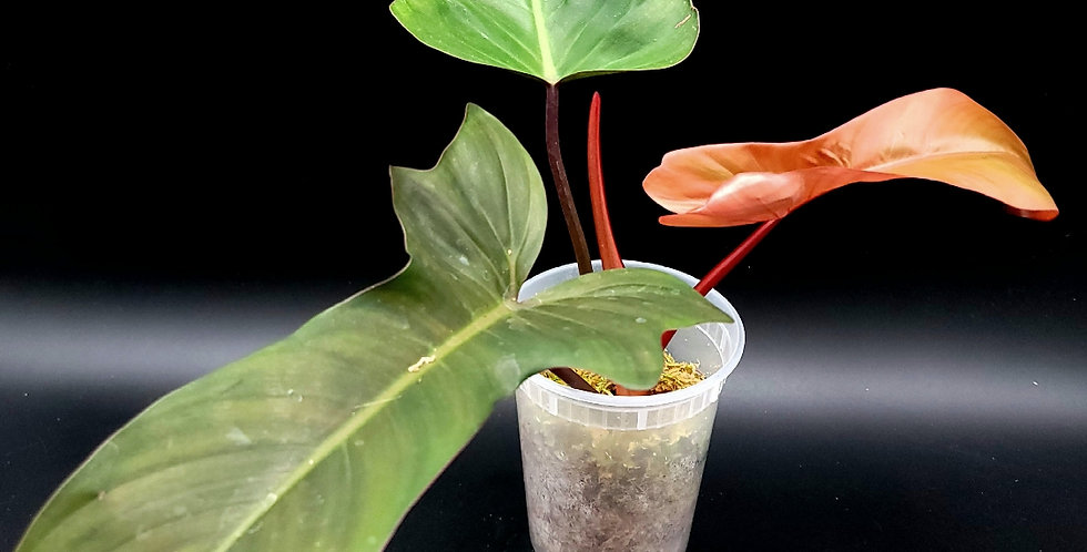 Philodendron Florida Bronze