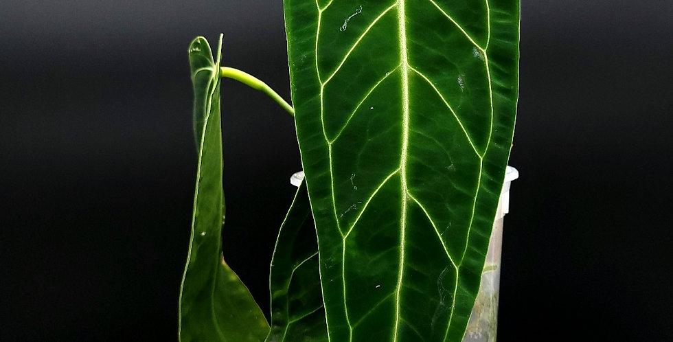 Anthurium 'Queen' Warocqueanum