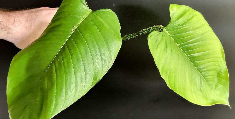 Philodendron Genevieveanum