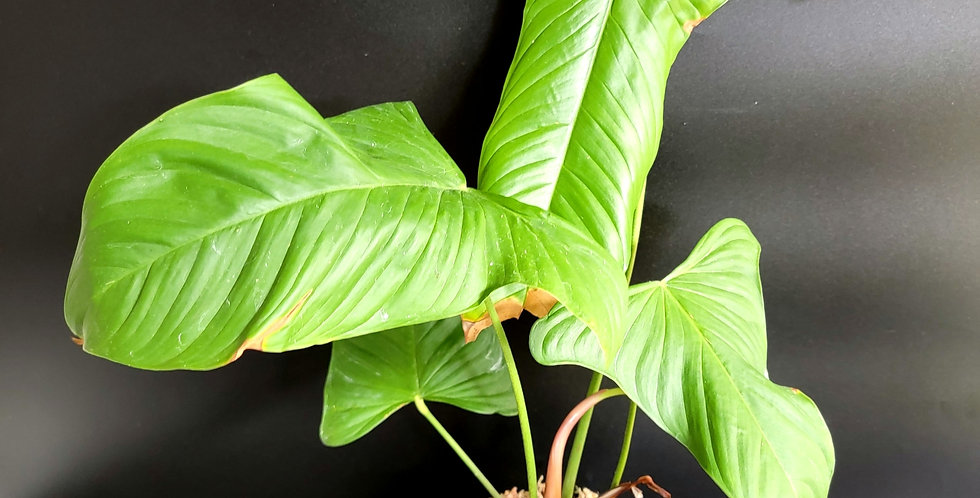 Philodendron Sharoniae Goat