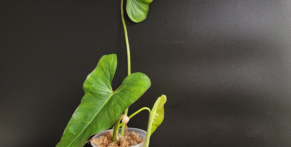 Philodendron Pinnatilobum