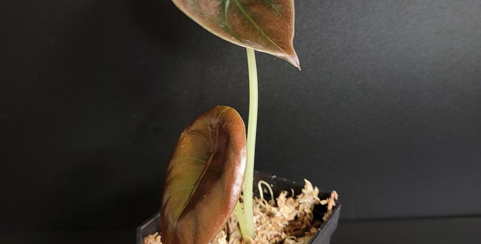 Alocasia Cuprea