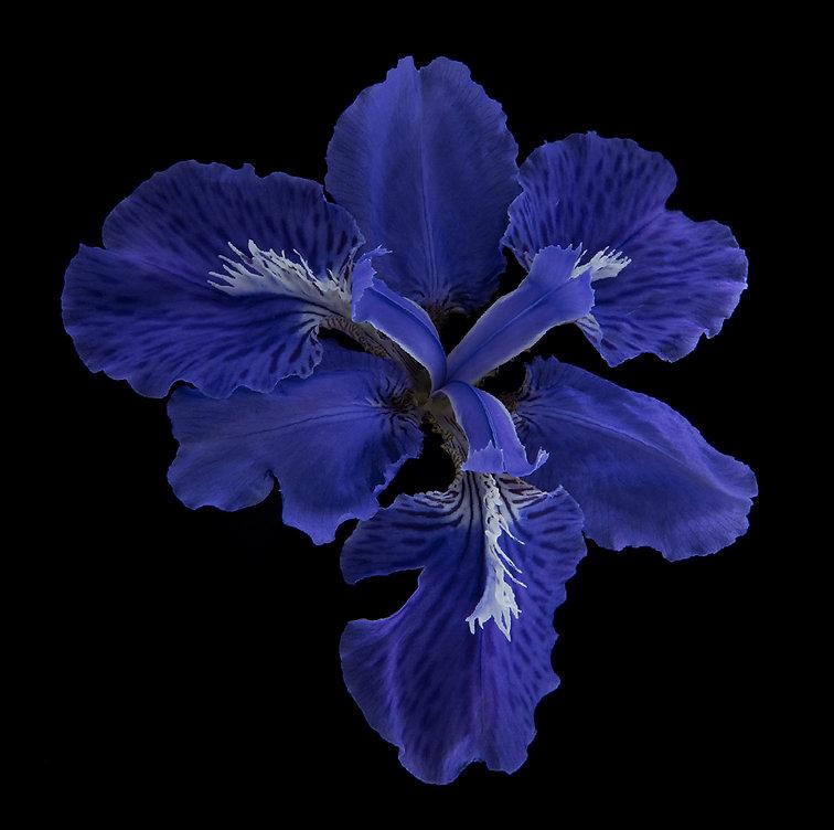 30-Iris-tectorum-dark.jpg