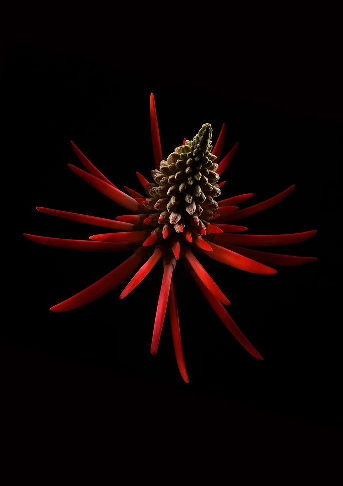 POSTER-FLAME-TREE-FLOWER WEB.jpg